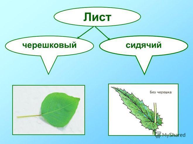 Черешок - биологический энциклопедический словарь - словари и энциклопедии
