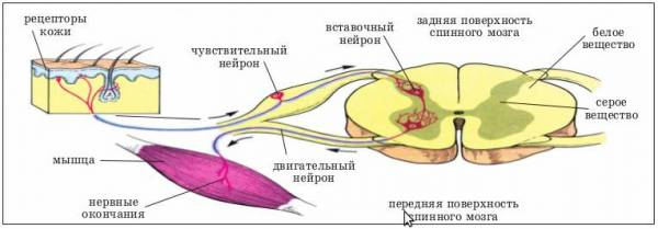 Синапс. рефлекс. рефлекторная дуга