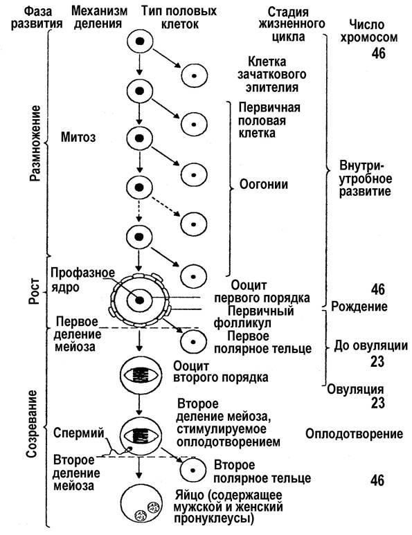 Оогенез — википедия. что такое оогенез