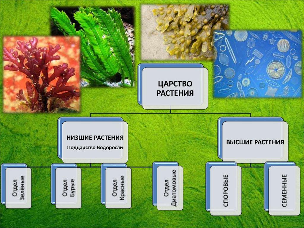 Высшие растения, признаки, вегетативные органы, ткани, основные функции и особенности, примеры отделов подцарства высшие растения, чем отличаются от низших | tvercult.ru
