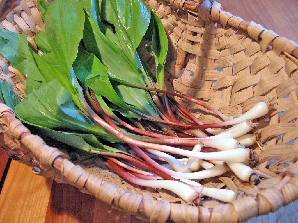 Черемша— вкусная и полезная зелень с ароматом чеснока