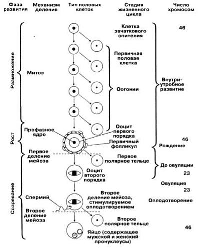 Сперматогенез и овогенез что это такое