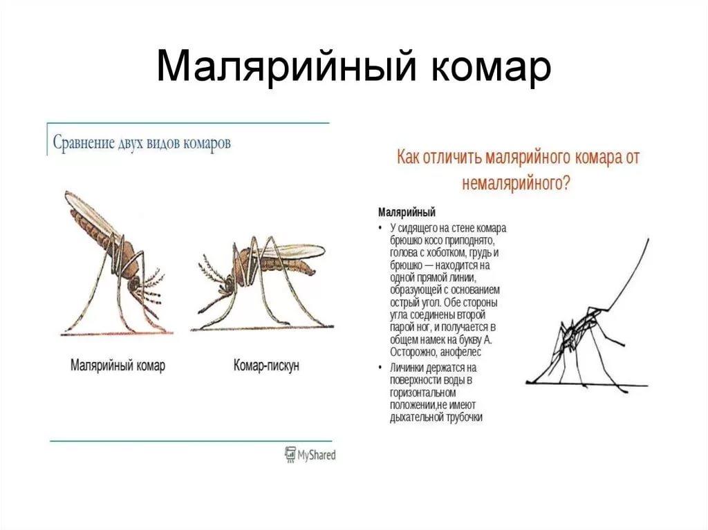 Комар звонец - описание, отличительные черты, средства защиты