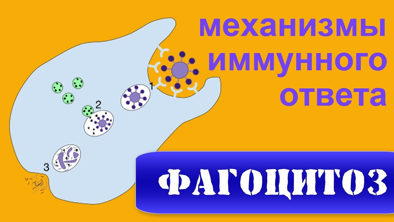 Фагоцитоз — википедия