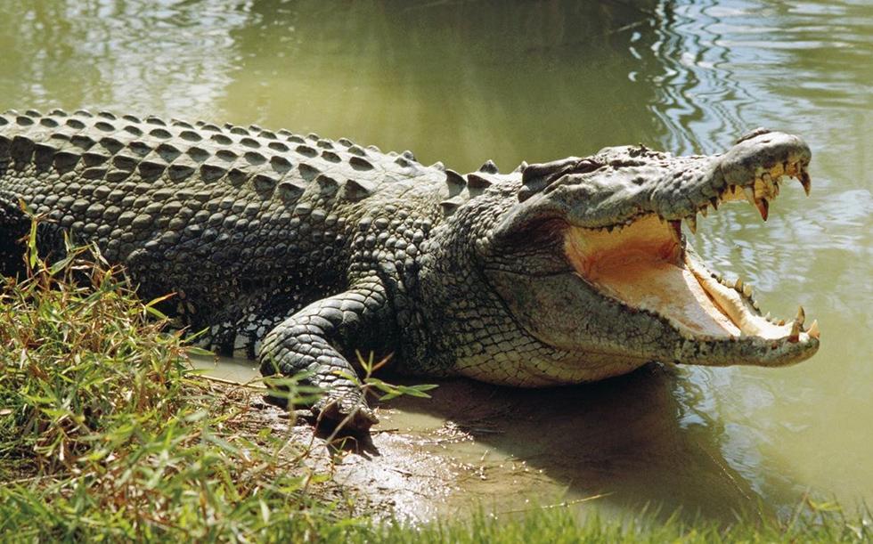 Самые необычные и красивые виды крокодилов