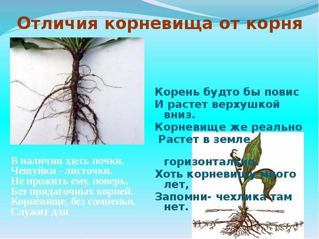 Корневая система и видоизменённые корни