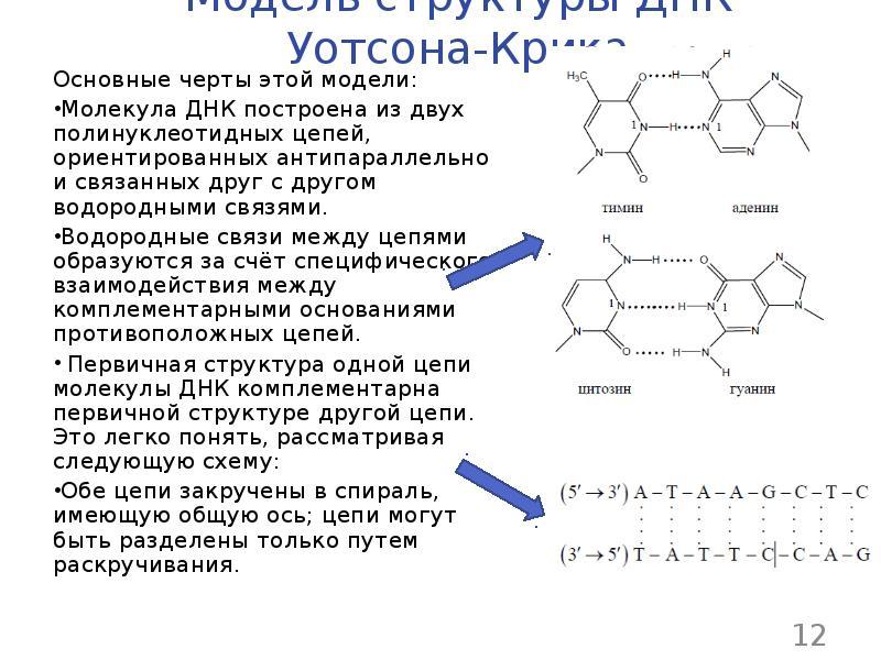 Что такое днк и рнк? структура днк. функции днк