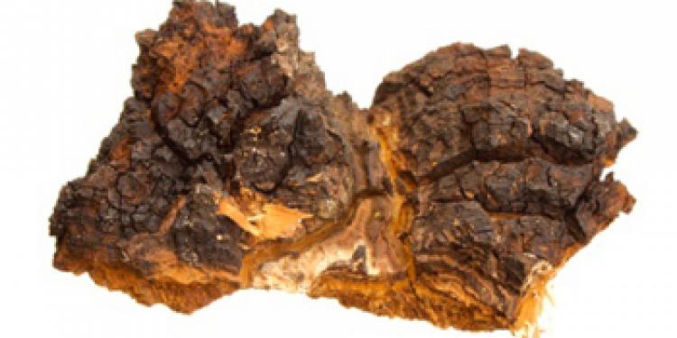 Березовый гриб чага — сильный биогенный стимулятор