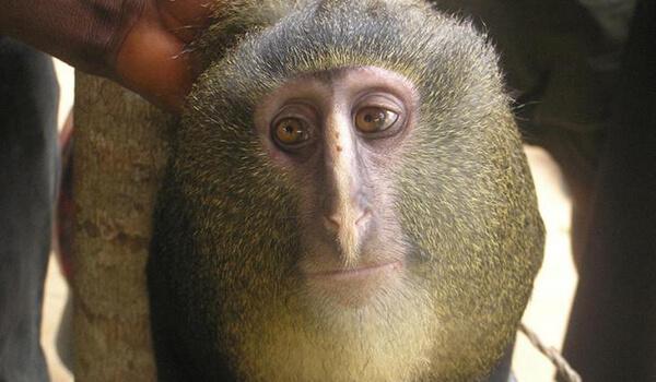 Обезьяна: повадки, образ жизни, виды обезьян, видео, фото