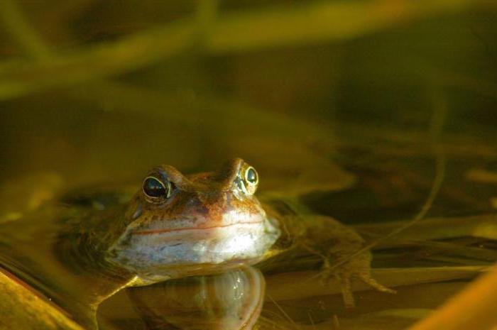 Травяная лягушка: описание, фото, ареал обитания, образ жизни, размножение