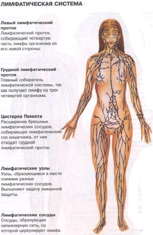 Лимфатическая система, лимфоузлы, лимфа, движение лимфы