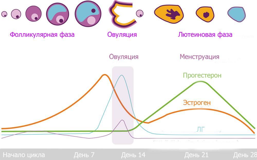 Лютеиновая фаза цикла — что это, какой день цикла