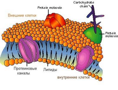 Клеточная мембрана: ее строение и функции