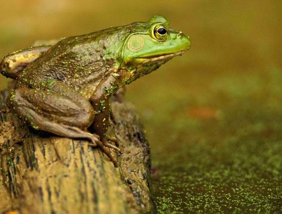 Какие лягушки вызывают галлюцинации - экспресс газета