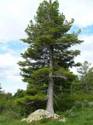 Кедр: описание дерева, продолжительность жизни, посадка и уход, виды