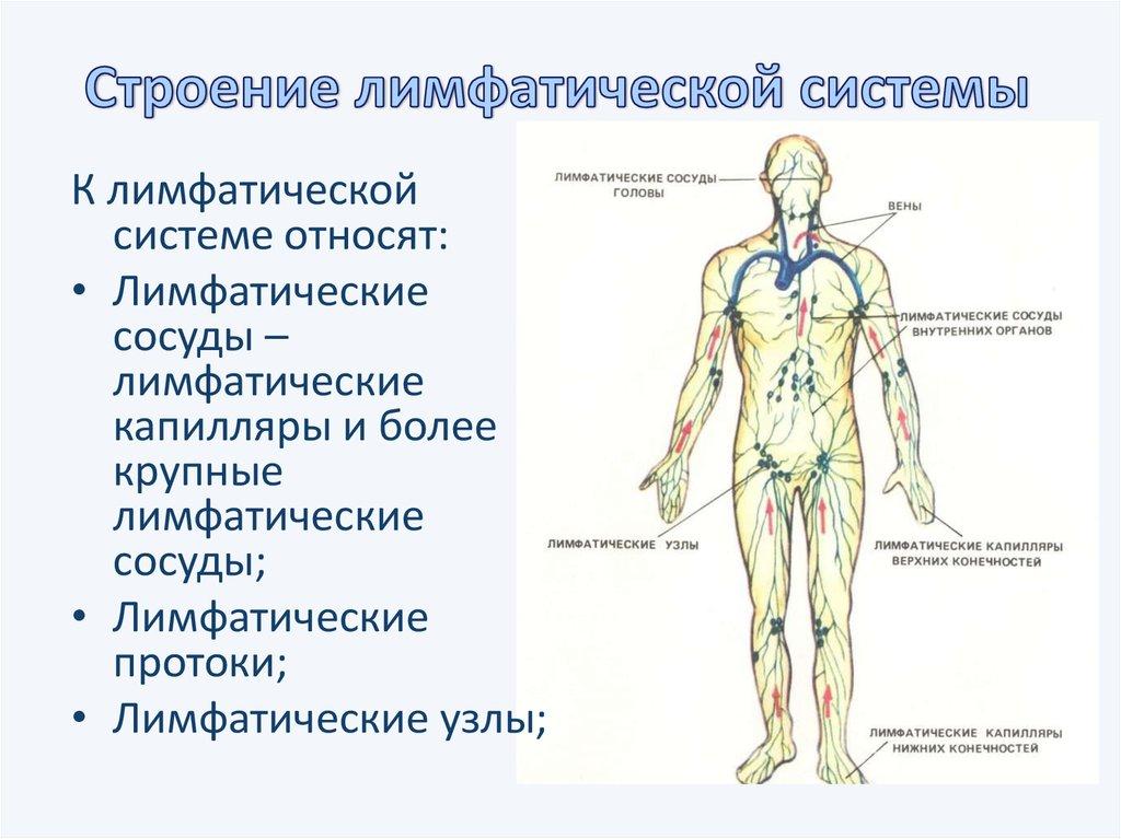 Лимфатическая система человека: схема движения лимфы с рисунком