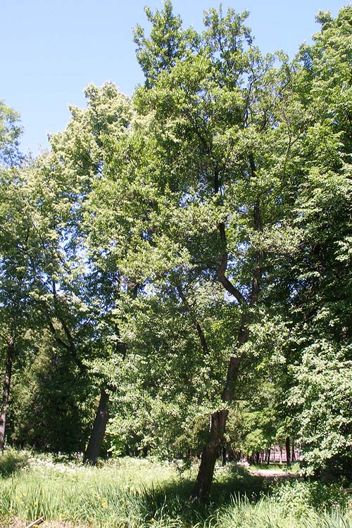 Ольха (древесина) — википедия. что такое ольха (древесина)