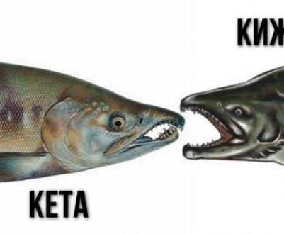 Рыба кета фото и описание