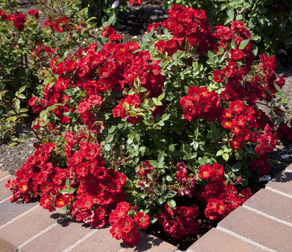 Полиантовые розы: фото и описание, выращивание из семян, отзывы