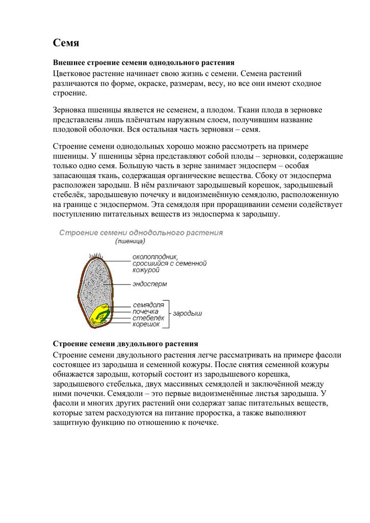 Что такое эндосперм. характеристика, особенности формирования и функции эндосперма.
