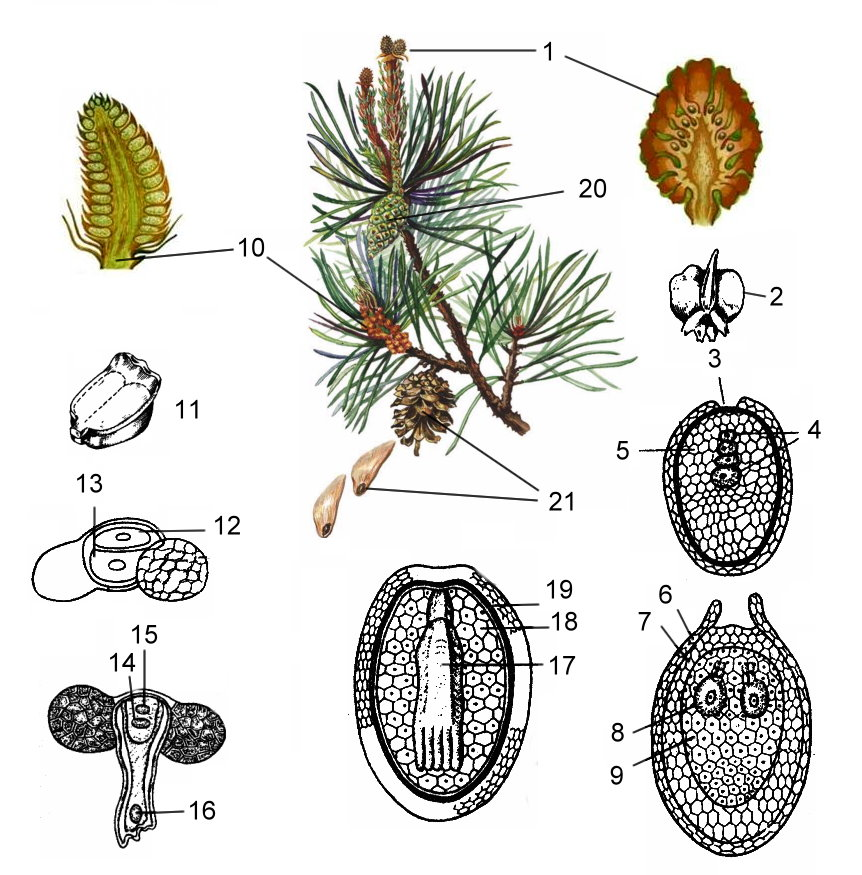 Общая характеристика голосеменных растений. происхождение, размножение, значение для человека