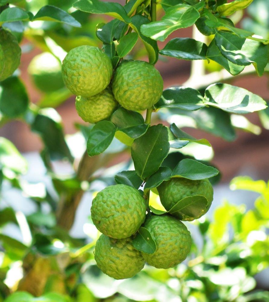Бергамот - что это за растение. полезные свойства и применение эфирного масла бергамота