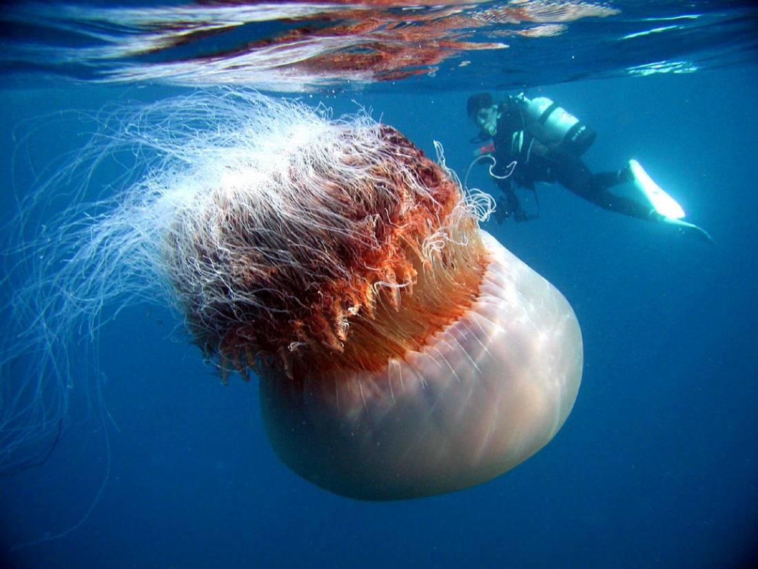Самые интересные факты о медузах. медузы: интересные факты, виды, строение и особенности : labuda.blog самые интересные факты о медузах. медузы: интересные факты, виды, строение и особенности — «лабуда» информационно-развлекательный интернет журнал