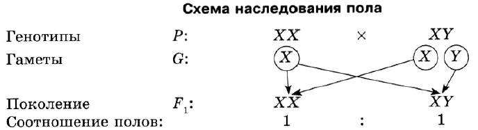 Сколько хромосом у человека, что такое хромосомы, гомологичные хромосомы? строение, количество, виды хромосом