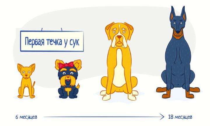 Обильная течка у собаки: признаки и основные причины, возможные заболевания