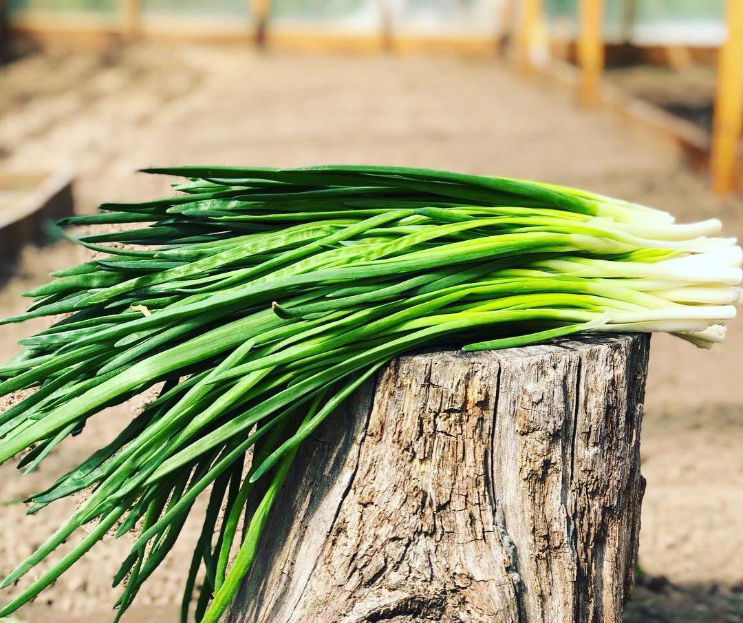 Лук джусай (душистый), как его применяют и в какие рецепты добавляют. фото растения и 3 вкусных рецепта