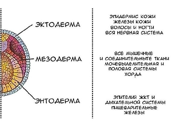 Структуры и зародышевые листки: егэ по биологии ⋆ maximum блог