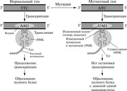 Транскрипция (биология) — википедия. что такое транскрипция (биология)