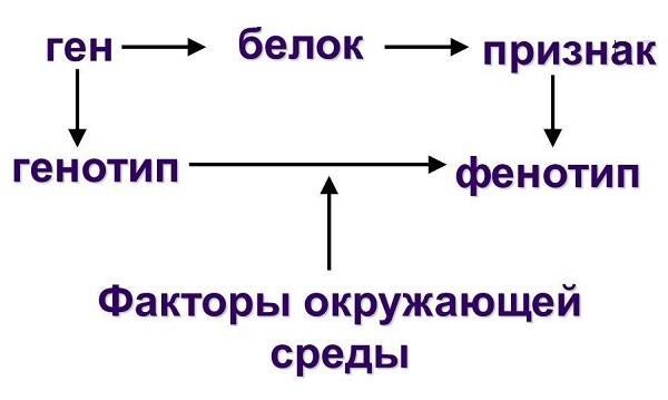 Фенотип — википедия. что такое фенотип