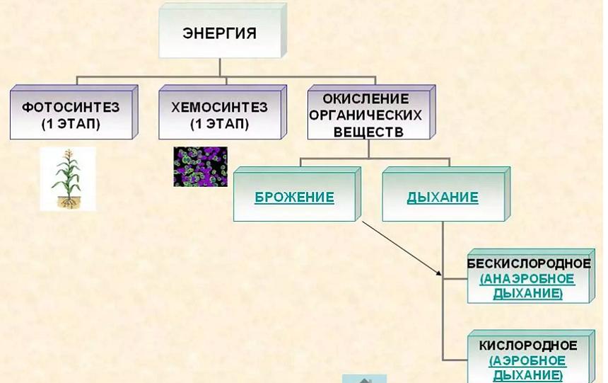 Фотосинтез: световая фаза, темновая фаза, фотодыхание, хемосинтез