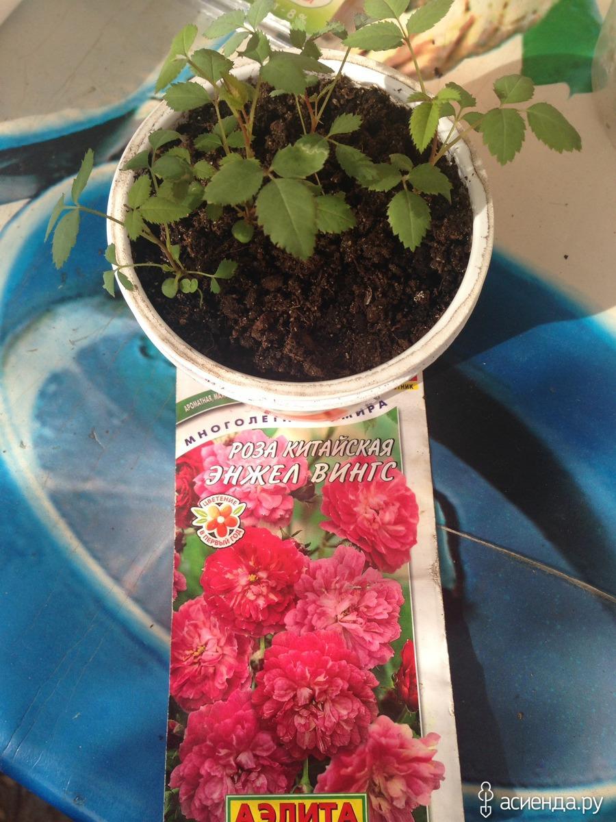 Полиантовая роза – королева рабаток и смешанных многоярусных цветников