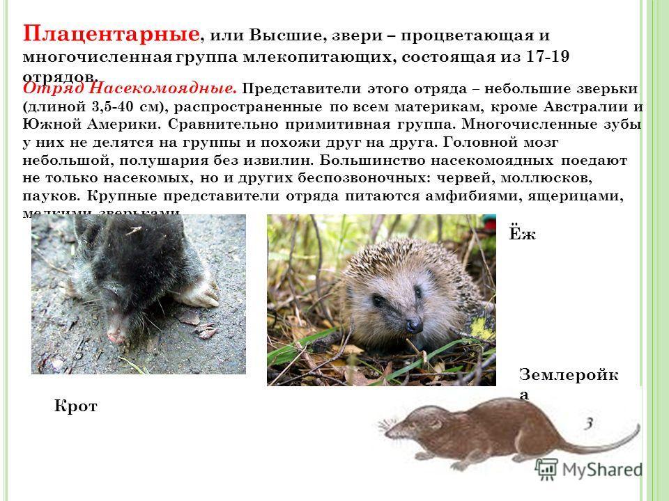 Плацентарные млекопитающие