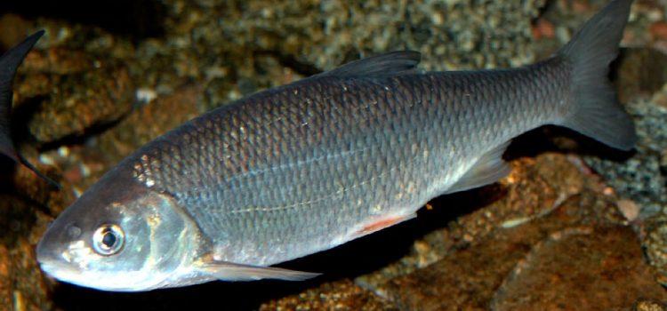 Рыба масляная: как выглядит, где водится, употребление, виды.