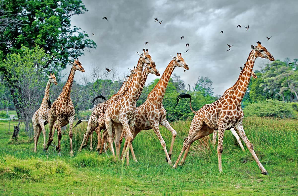 Жираф — википедия. что такое жираф