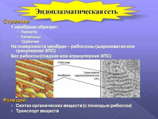 Функции эпс в растительной клетке. эндоплазматическая сеть