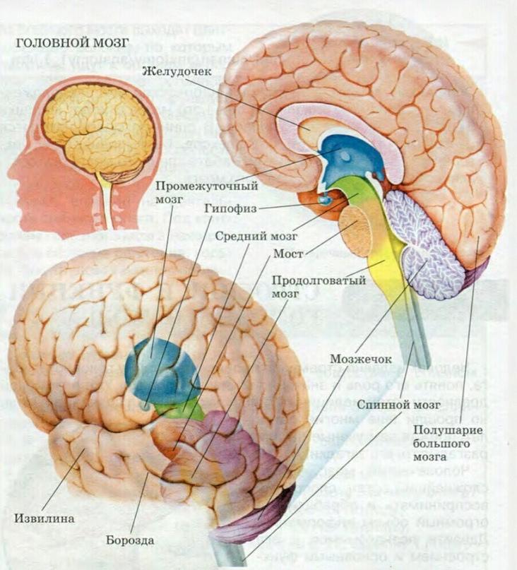 За что в организме отвечает мозжечок?