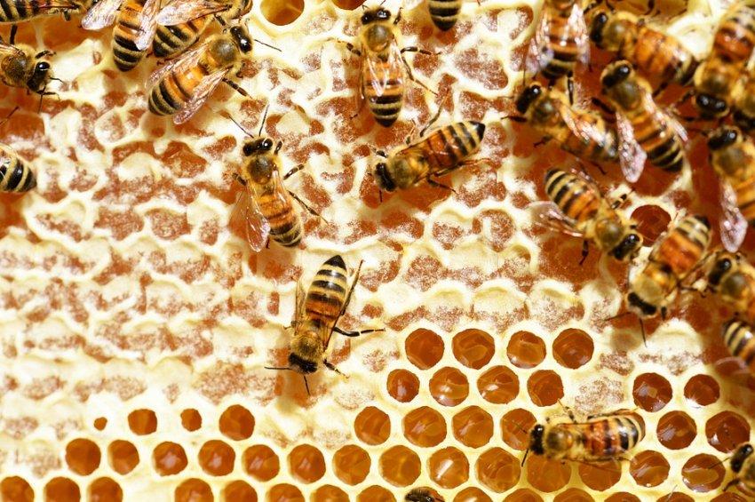 Как пчёлы делают соты и для чего они нужны?