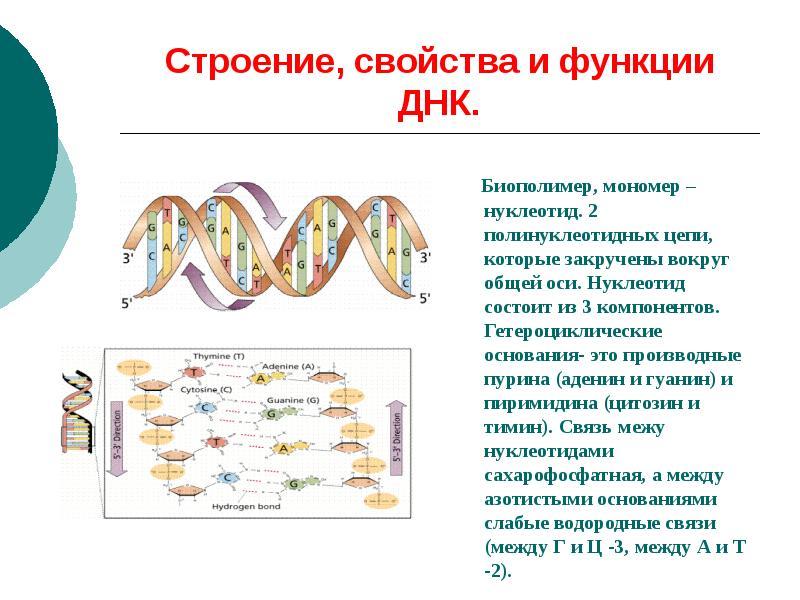 Что такое днк простыми словами, в чем секрет генетической информации?