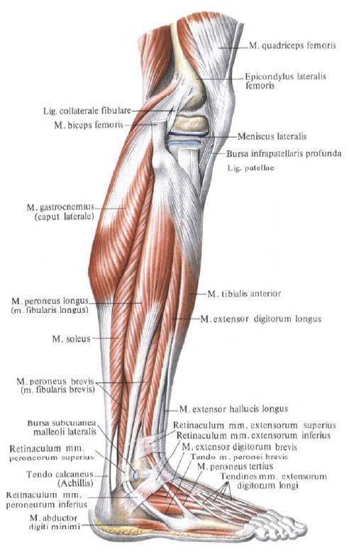 Голень это какая часть ноги