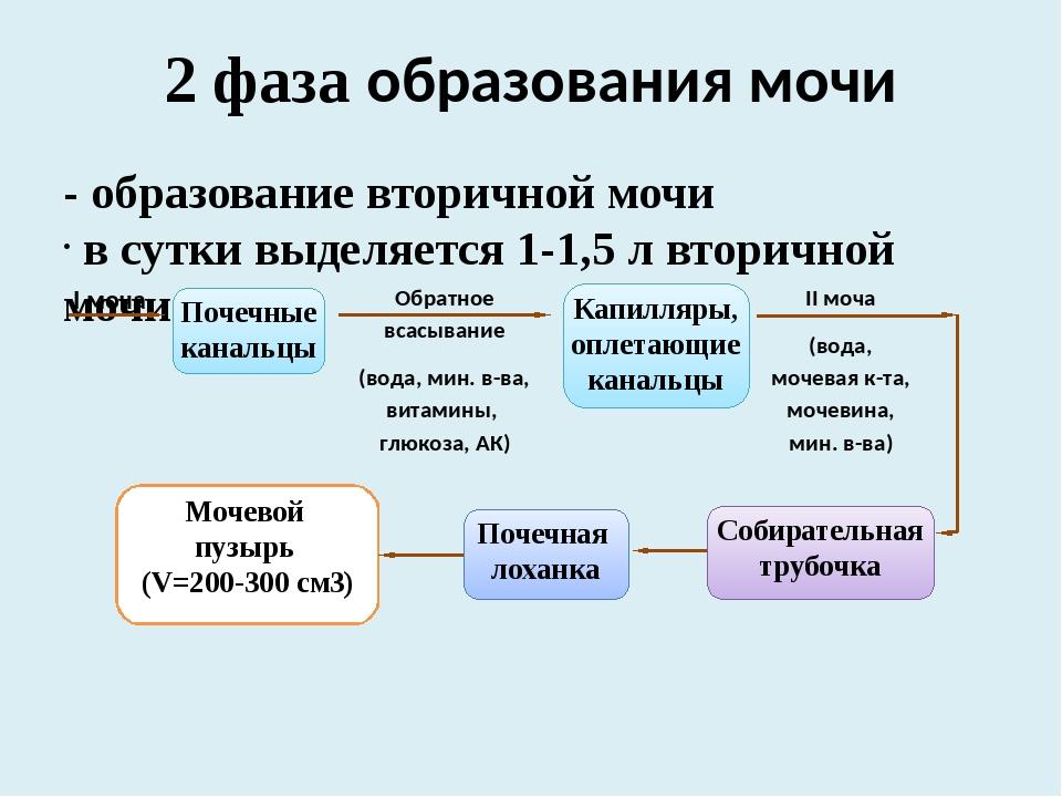 Моча: основные компоненты и механизм образования