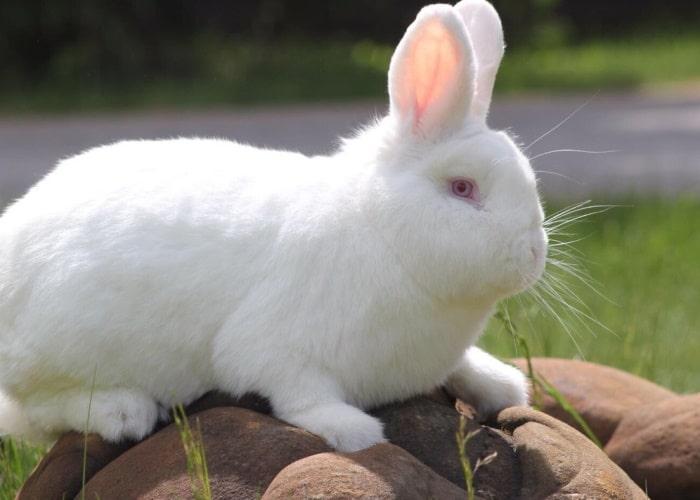 Описание кроликов домашней породы