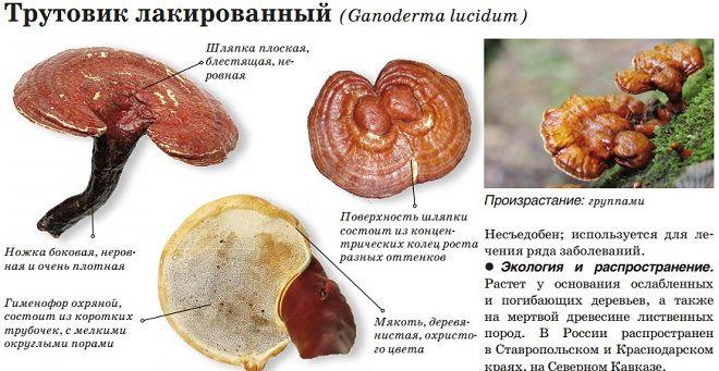 Трутовик лакированный (ganoderma lucidum): гриб бессмертия