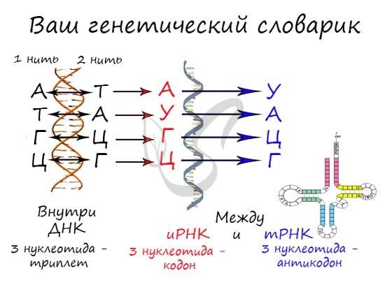 Транскрипция (биология) - вики