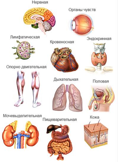 Системы органов человека: анатомия расположения внутренних органов, схема с описанием, функции, строение, особенности и деятельность человеческого организма