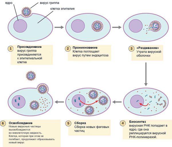 Орз и орви: в чем разница и какие особенности лечения?