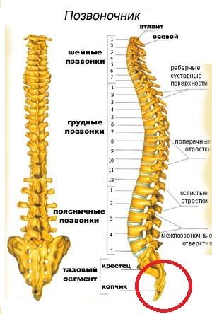 Копчик: где находится у человека, строение и анатомия
